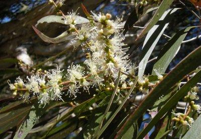 Cajeputbaum (Melaleuca leucadendra)