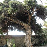 Ätherisches Öl Teebaum: Pflanze, Inhaltsstoffe, Anwendung
