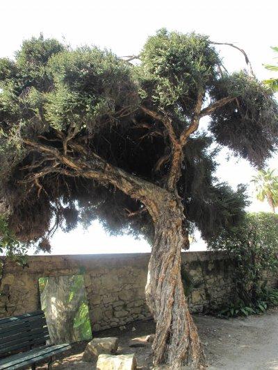 Teebaum Melaleuca alternifolia