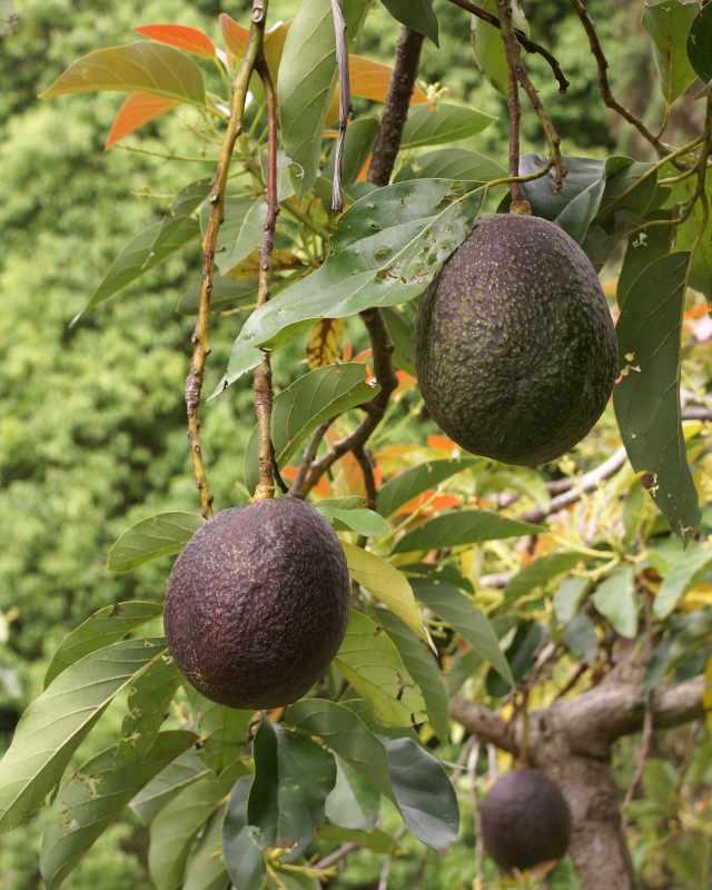 Avocado, Persea Gratissima