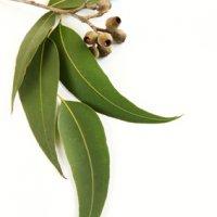 Ätherisches Öl Eukalyptus: Pflanze, Herstellung, Inhaltsstoffe