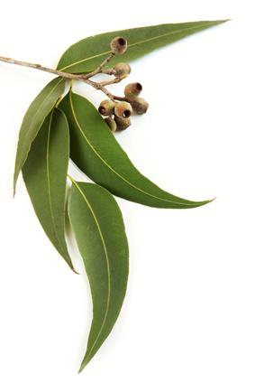Eukalyptus für ätherisches Eukalyptusöl