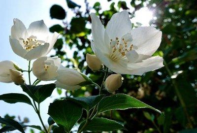 Ätherisches Öl Jasmin: Herstellung, Inhaltsstoffe, Anwendung