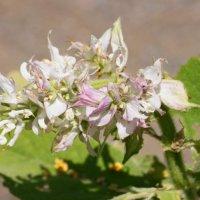 Ätherisches Öl Muskatellersalbei: Pflanze, Herstellung und Anwendung