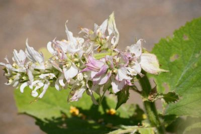 Ätherisches Öl Muskatellersalbei: Pflanze, Wirkweise, Anwendung