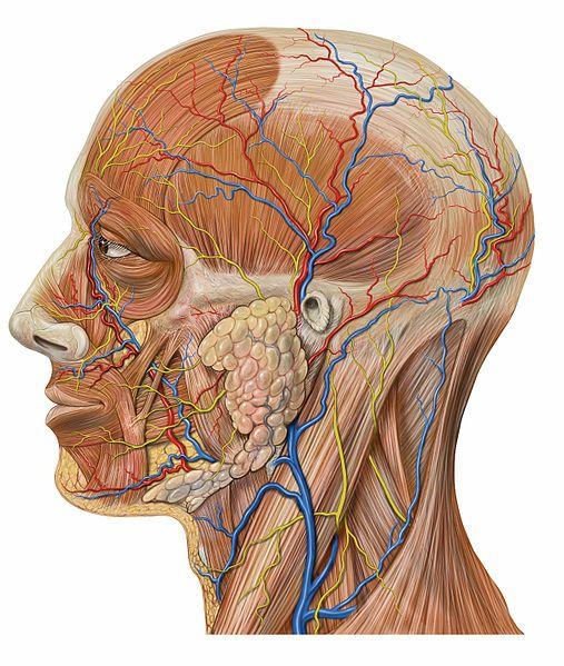Anatomie Kopf