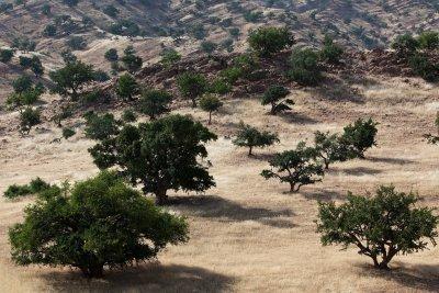 Argan-Bäume