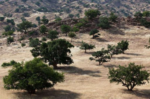 Arganbäume in Marokko