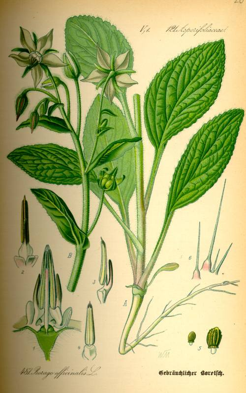 Borretsch Pflanze