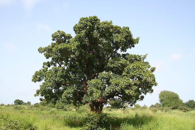 Sheabutter-Baum