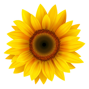 Sonnenblume für Sonnenblumenöl