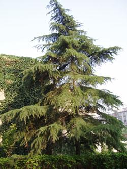 Zedernholz für Zedernholzöl